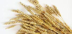 trigo es gluten