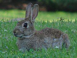 250px-conejo_astronomo1